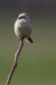 Veliki_srakoper_Great_grey_shrike_18.jpg