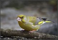 Zelenec_Greenfinch_05.jpg